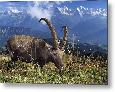 Alpin Ibex Male Grazing Metal Print by Konrad Wothe