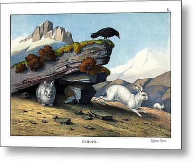 Alpine Hare Metal Print
