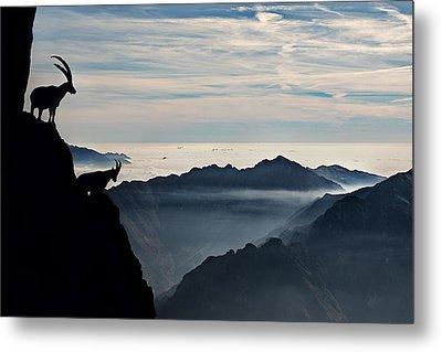 Alpine Ibex Metal Print by Francesco Vaninetti