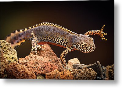 Alpine Newt Metal Print by Dirk Ercken