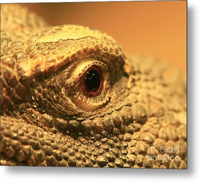 Always Watch Your Back - Benti Uromastyx Lizard Metal Print by Inspired Nature Photography Fine Art Photography