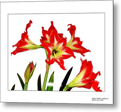 Metal Print featuring the photograph Amaryllis On White by David Perry Lawrence