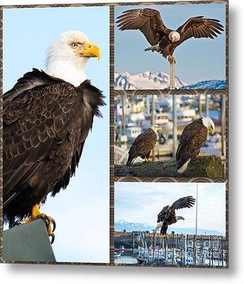 Amazing Bald Eagles Metal Print by Debra  Miller