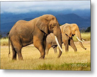 Amazing Grazing Elephant Bull In Amboseli National Park  Metal Print by Maggy Meyer