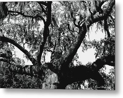 Amazing Oak Tree Metal Print by Debra Forand