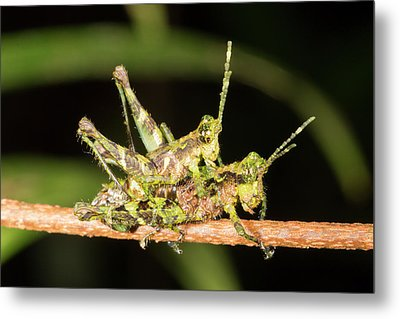Amazonian Grasshoppers Mating Metal Print