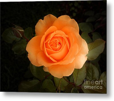 Amber Flush Rose Metal Print by Hanza Turgul