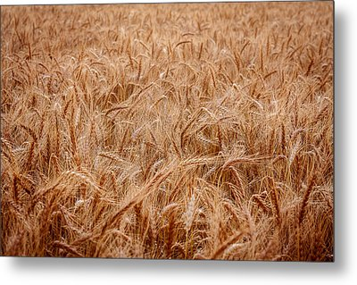 Amber Waves Metal Print by Scott Bean