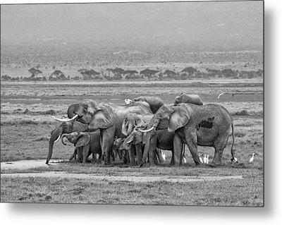 Amboseli Ellies Metal Print by June Jacobsen