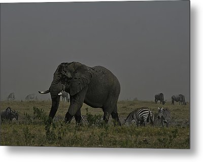 Metal Print featuring the photograph Amboseli Giant by Gary Hall