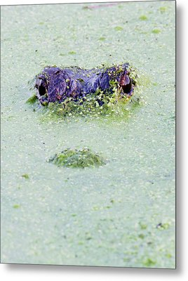 American Alligator, Alligator Metal Print by Larry Ditto