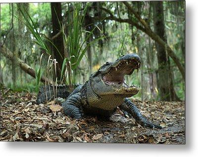 American Alligator (alligator Metal Print by Pete Oxford