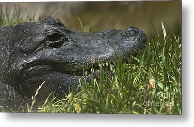 Metal Print featuring the photograph American Alligator Closeup by David Millenheft