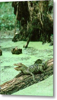 American Alligator Metal Print by Gregory G. Dimijian, M.D.
