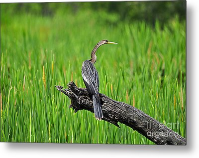 American Anhinga Metal Print by Al Powell Photography USA