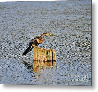American Anhinga Angler Metal Print by Al Powell Photography USA