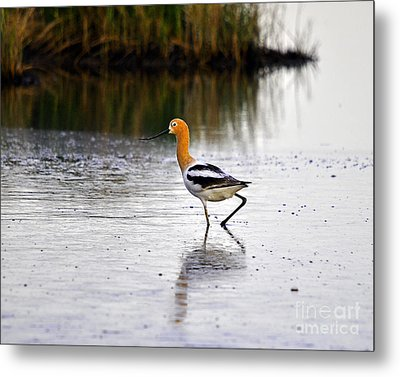 American Avocet Metal Print by Al Powell Photography USA