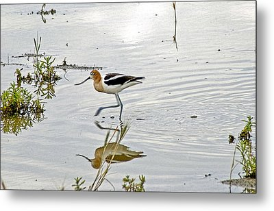 American Avocet Feeding Metal Print by James Steele