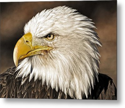 American Bald Eagle 33 Metal Print by Marty Koch