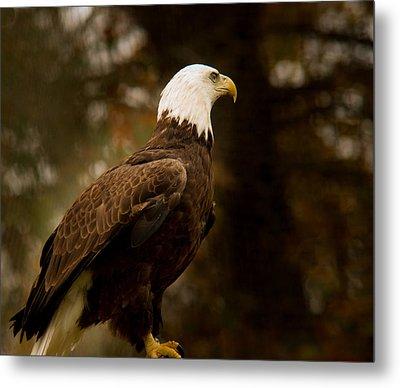 American Bald Eagle Awaiting Prey Metal Print