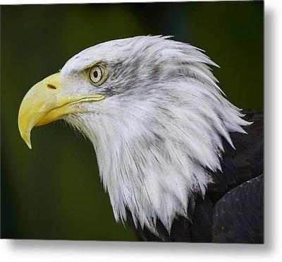 American Bald Eagle Metal Print by Chris Malone