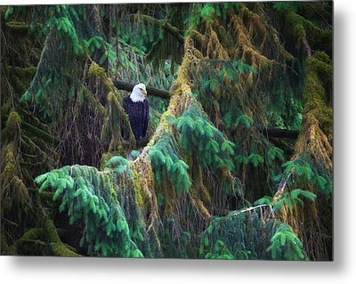 American Bald Eagle In The Pines Metal Print by June Jacobsen