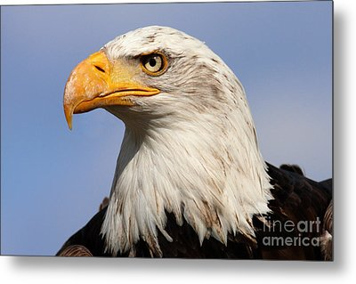 Metal Print featuring the photograph American Bald Eagle by Nick  Biemans