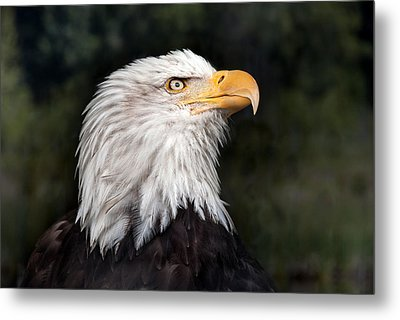 American Bald Eagle Profile Metal Print