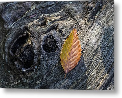 Metal Print featuring the photograph American Beech Leaf by Andrew Pacheco