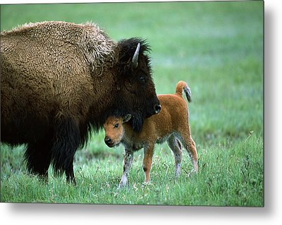 American Bison And Calf Yellowstone Np Metal Print by Suzi Eszterhas