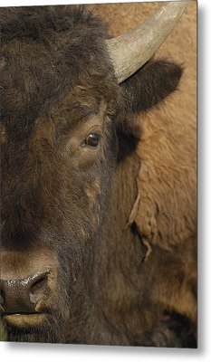 American Bison  Male Wyoming Metal Print by Pete Oxford