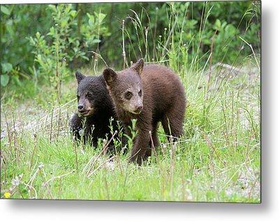 American Black Bear Cubs Metal Print