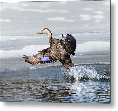American Black Duck Metal Print by Bill Wakeley