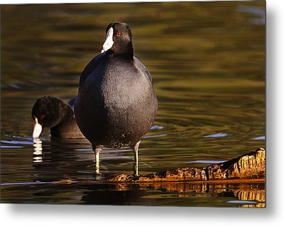 Metal Print featuring the photograph American Coot  by Brian Cross