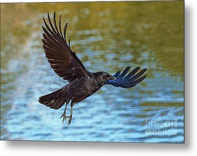 American Crow Flying Over Water Metal Print by Anthony Mercieca