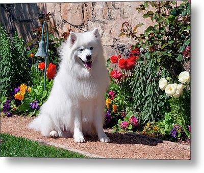 American Eskimo Dog On Garden Path Metal Print