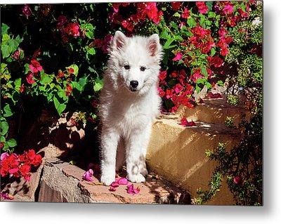 American Eskimo Puppy Sitting On Garden Metal Print