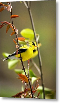 American Goldfinch-2 Metal Print by Christina Rollo