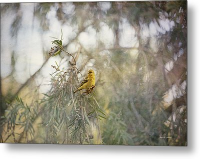 American Goldfinch In Winter Plumage Metal Print by Angela A Stanton