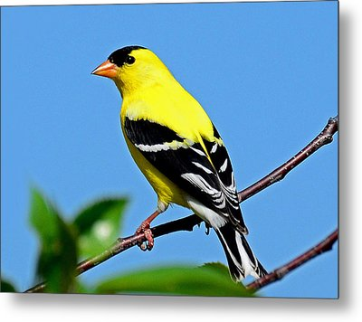 American Goldfinch Metal Print by Rodney Campbell