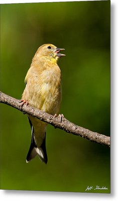 American Goldfinch Singing Metal Print by Jeff Goulden