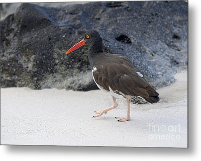 American Oystercatcher Looking For Food On Beach Metal Print
