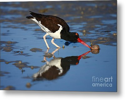 Metal Print featuring the photograph American Oystercatcher Mirror by John F Tsumas