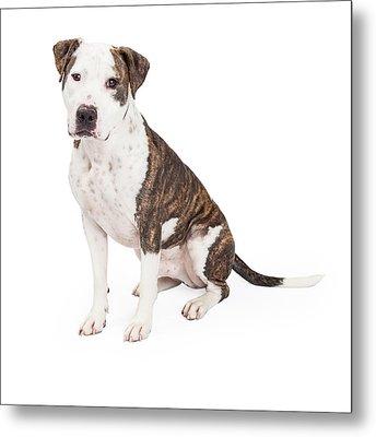 American Staffordshire Terrier Cross Dog Sitting Metal Print by Susan Schmitz