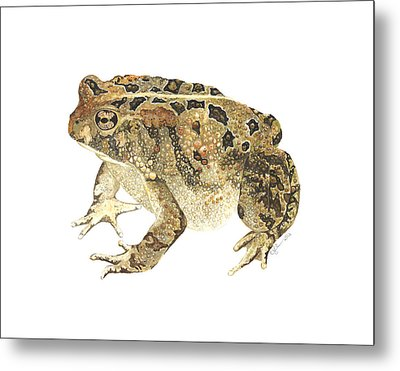 American Toad Metal Print by Cindy Hitchcock