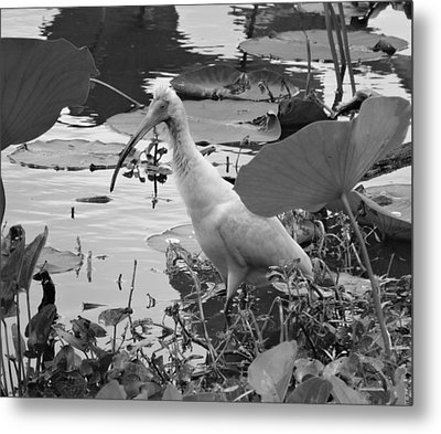 American White Ibis Black And White Metal Print by Dan Sproul