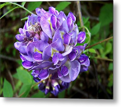 Metal Print featuring the photograph American Wisteria by William Tanneberger