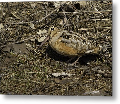 American Woodcock 1 Metal Print by Thomas Young