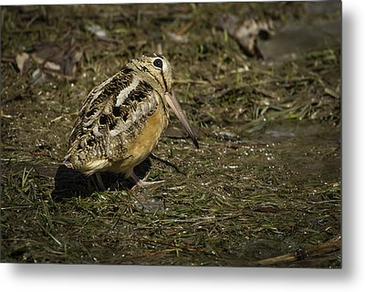 American Woodcock 2 Metal Print by Thomas Young