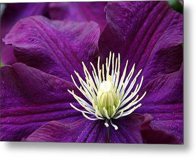 Amethyst Colored Clematis Metal Print